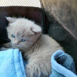 Кошки - Котята шотланские, 0