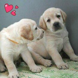 Собаки - Щенки Лабрадора ретривера , 0