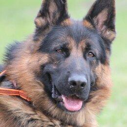 Собаки - немецкая овчарка щенки., 0