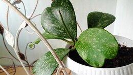 Комнатные растения - Хойя Керри Сплэш., 0