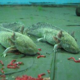 Аквариумные рыбки - Аксолотль, 0
