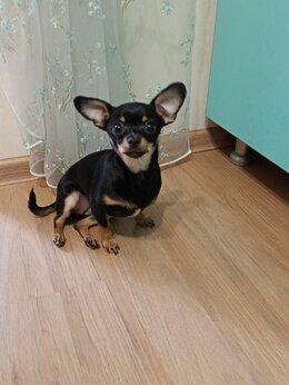 Собаки - Продам щенка девочка 6 мес, паспор прививки всё…, 0