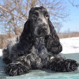 Собаки - Английский кокер сраниель шоу класса, 0
