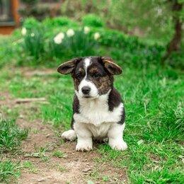 Собаки - Вельш корги кардиган , 0