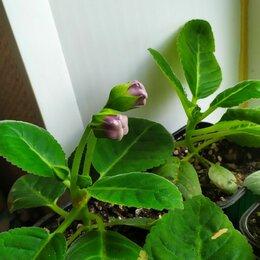 Комнатные растения - Глоксинии, 0