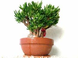 Комнатные растения - Бонсай, денежное дерево, Хоббит, 11 лет, 42х40 см, 0
