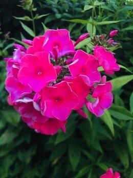 Рассада, саженцы, кустарники, деревья - Продаётся Флокс розовый, 0