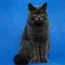 Кошки - Британский котик, 0