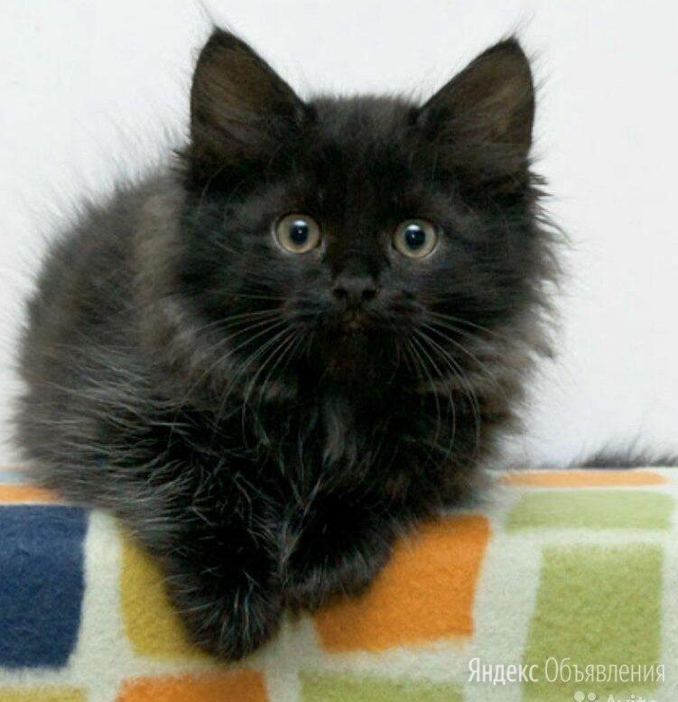 Продам сибирских котят по цене 500₽ - Кошки, фото 0
