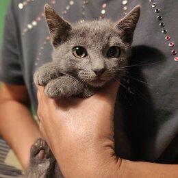 Кошки - Русская голубая, 0