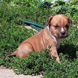 Собаки - Щенки американского стаффордширского терьера в питомнике, 0