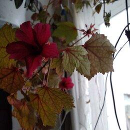 Комнатные растения - Гибискус с бордовым листьями, 0