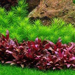 Растения для аквариумов и террариумов - Альтернантера мини - Alternanthera reineckii Mini, 0
