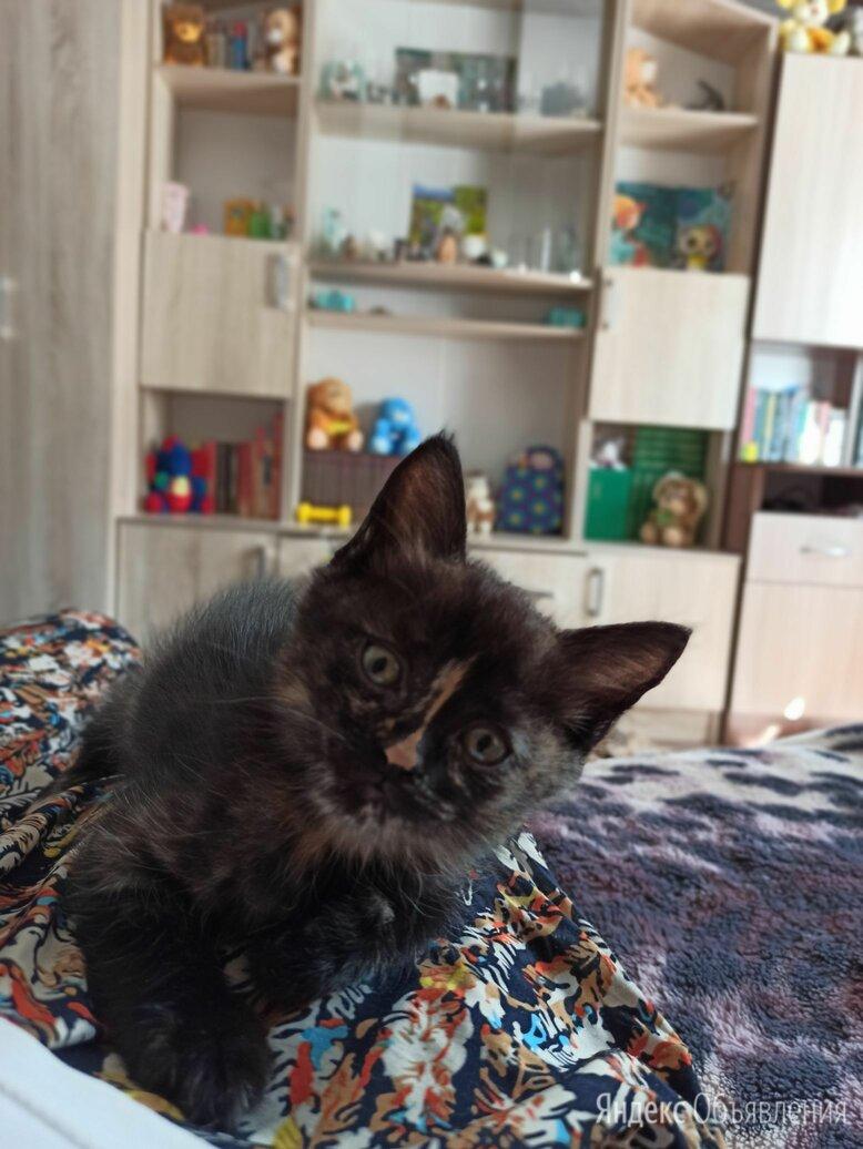 Луноликая трехцветная кошечка по цене даром - Кошки, фото 0