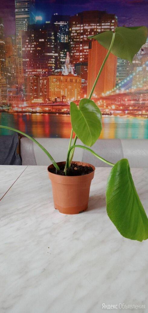 Монстера по цене 300₽ - Комнатные растения, фото 0