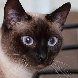 Кошки - Сиамская кошка гладкошерстная, 0