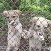 Отдам щенков в добрые руки по цене даром - Собаки, фото 1