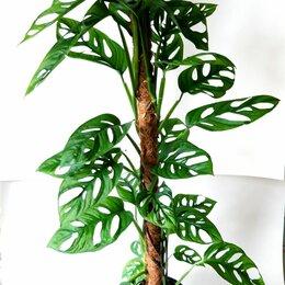 Комнатные растения - Монстера адансона , 0