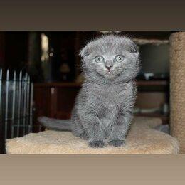Кошки - Шотландские вислоухие котята , 0