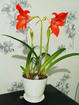 Комнатные растения - Гиппеаструм (Амариллис) - комнатная лилия, 0