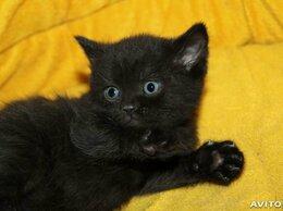 Кошки - британский котик Bri, 0