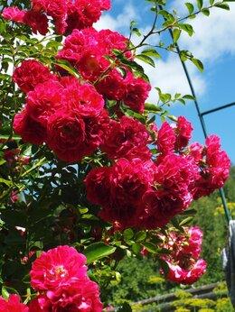 Рассада, саженцы, кустарники, деревья - Роза плетистая саженцы, 0