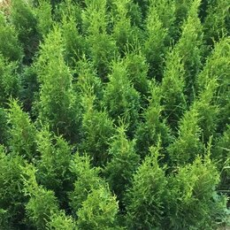 Рассада, саженцы, кустарники, деревья - Туя западная Смарагд 60-80 см, 0