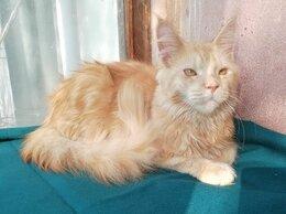Кошки - Молодой котик мейн-кун 1 год, 0