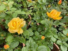 Рассада, саженцы, кустарники, деревья - Розы Артур Белл в горшках 30-35 литров, 0