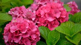 Рассада, саженцы, кустарники, деревья - Гортензия розовая крупнолистная, 0