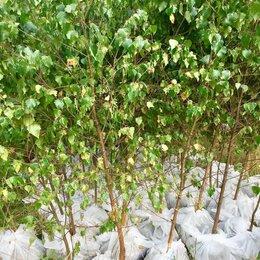Рассада, саженцы, кустарники, деревья - Береза саженцы с доставкой и посадкой , 0