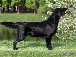 Собаки - Черные  щенки прямошерстного ретривера, 0