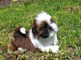Собаки - Красивые ши тцу, 0