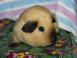 Грызуны - Морская свинка Калифорния, 0