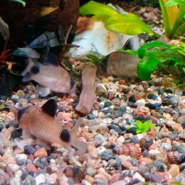 Аквариумные рыбки - Коридорас панда, 0
