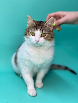 Кошки - Молодая кошка в дар. Работала мышеловкой на…, 0