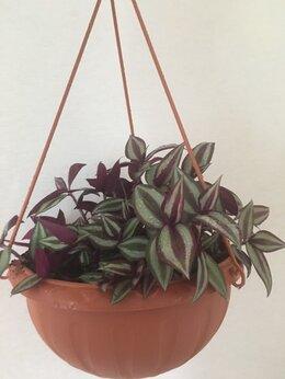Комнатные растения - Традесканция (Зебрина), 0