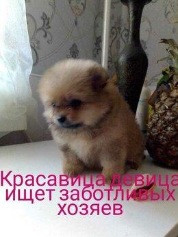 Собаки - Шпиц девочка, 0