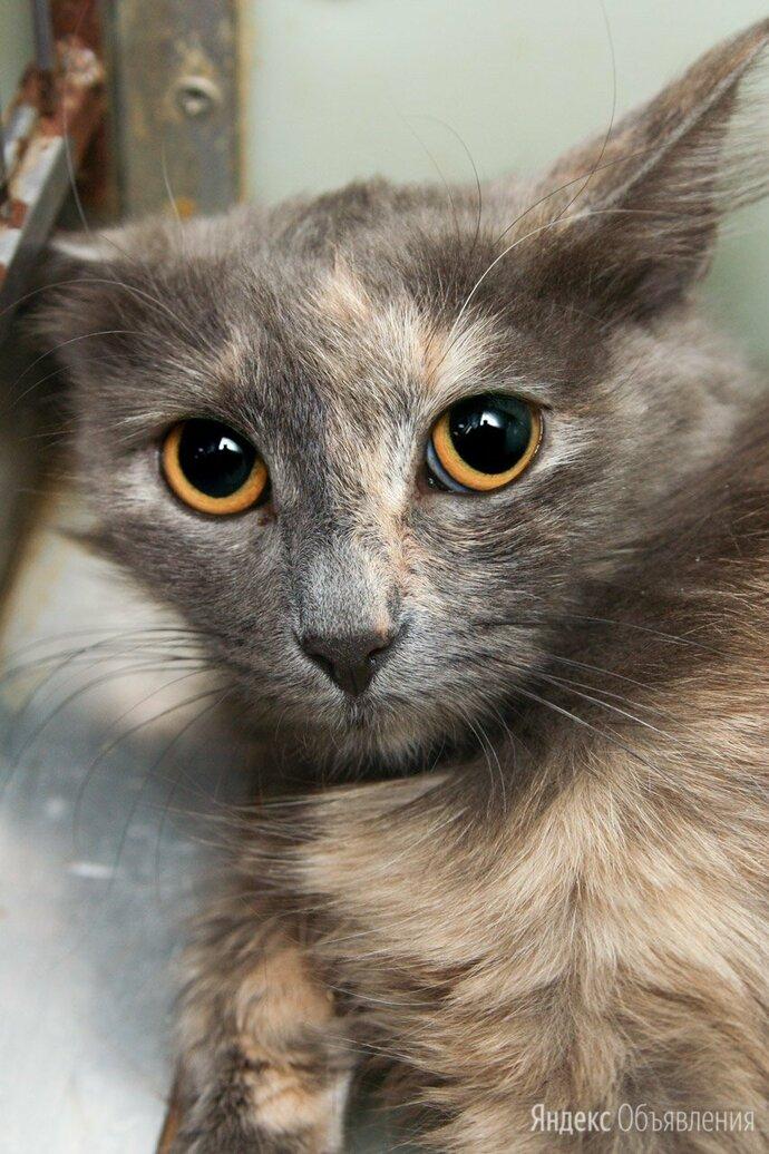 Тихая и ласковая котёнок, девочка Латия по цене даром - Кошки, фото 0
