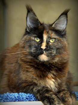 Кошки - Сокращение питомника Мейн кун, 0