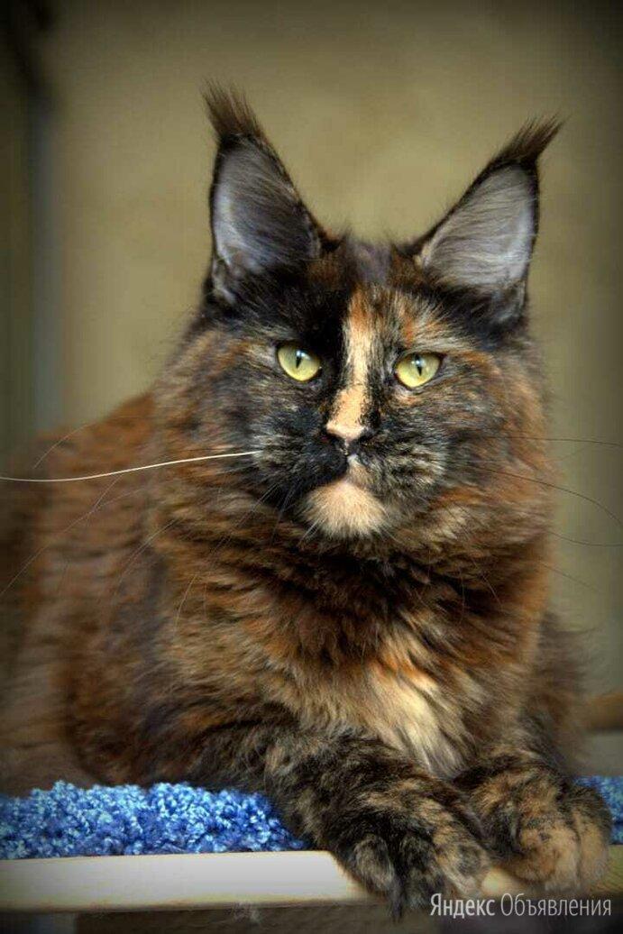 Сокращение питомника Мейн кун по цене 15000₽ - Кошки, фото 0