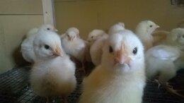 Птицы - Цыплята бройлеры, 0