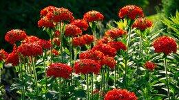 Рассада, саженцы, кустарники, деревья - Многолетние цветы саженцы, 0