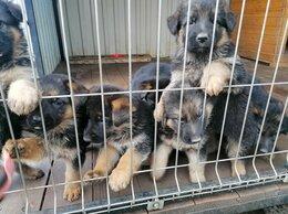 Собаки - Продам щенков немецкой , 0