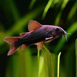 Аквариумные рыбки - Коридорас Венесуэла Блэк мирный донный сомик, подростки 2,5 см., 0