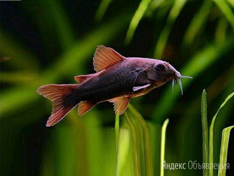 Коридорас Венесуэла Блэк мирный донный сомик, подростки 2,5 см. по цене 180₽ - Аквариумные рыбки, фото 0