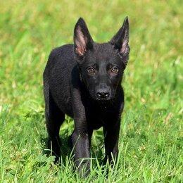 Собаки - Щенки немецкой овчарки черный окрас, 0