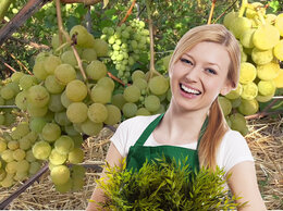 Рассада, саженцы, кустарники, деревья - Саженцы винограда морозоустойчивые, 0