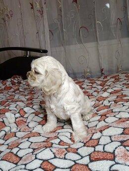 Собаки - Американский кокер спаниель, 0