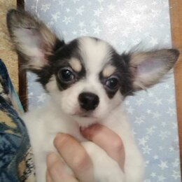 Собаки - Чихуахуа бело-голубой длинношерстный, 0